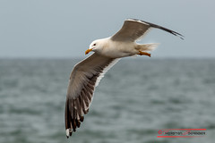 """Seagull on Helgoland • <a style=""""font-size:0.8em;"""" href=""""http://www.flickr.com/photos/25741809@N05/28169969407/"""" target=""""_blank"""">View on Flickr</a>"""