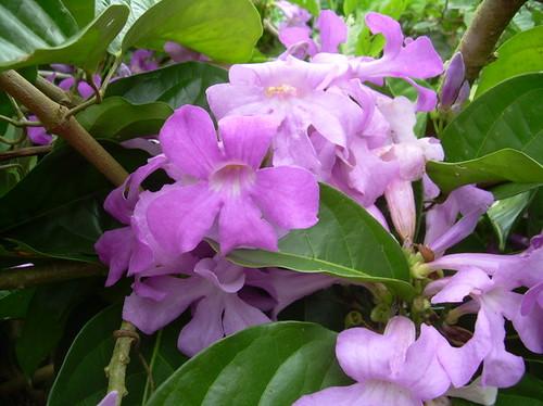 blooming ajosacha