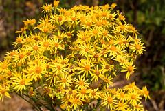 Common Ragwort - Jacobaea vulgaris