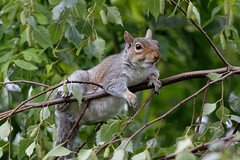 "Grey squirrel  "" Sciurus carolinensis"""
