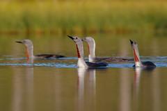 Red-throated Loon | smålom | Gavia stellata