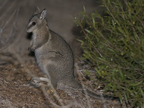 """Bridled Nail-tailed Wallaby - Taunton NP, QLD • <a style=""""font-size:0.8em;"""" href=""""http://www.flickr.com/photos/95790921@N07/29968616888/"""" target=""""_blank"""">View on Flickr</a>"""