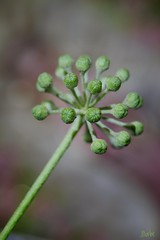 star plant
