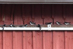 Common house martins