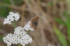 Brown Argus.Female.