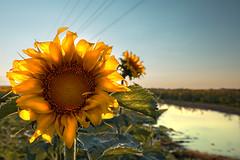 Backlit Sunflower