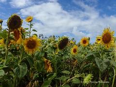 Sunflowers at Rhossilli 2018 08 16 #12