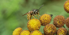 Wasp on Tansy.