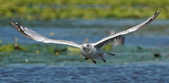 Young Gull....