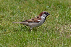 "House sparrow ""Passer domesticus"""