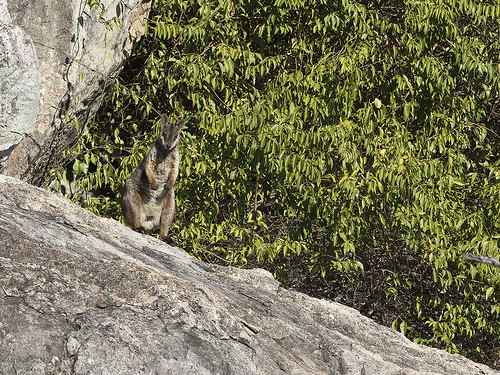 """Herbert's Rock-wallaby - Eidsvold, QLD • <a style=""""font-size:0.8em;"""" href=""""http://www.flickr.com/photos/95790921@N07/42281360070/"""" target=""""_blank"""">View on Flickr</a>"""