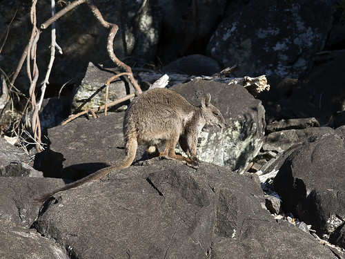 """Herbert's Rock-wallaby - Eidsvold, QLD • <a style=""""font-size:0.8em;"""" href=""""http://www.flickr.com/photos/95790921@N07/30222200228/"""" target=""""_blank"""">View on Flickr</a>"""