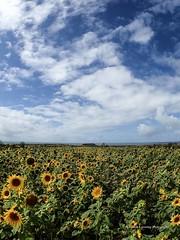 Sunflowers at Rhossilli 2018 08 16 #13