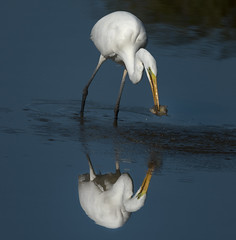 Great White Egret reflection and catch