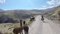 Lamas zwischen Tanta und Vilca