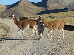 Vicuñas: Extrem kostbare Wolle