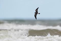 Leach's Storm Petrel | klykstjärtad stormsvala | Oceanodroma leucorhoa