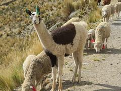 Lamas und Schafe