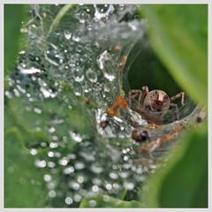 Waterdruppels op spinnenweb met spin