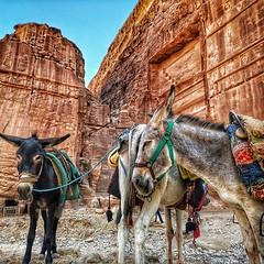 Donkeys of Petra