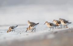 Sanderling | sandlöpare | Calidris alba