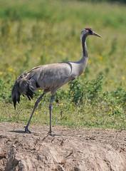 Common Crane, South West England