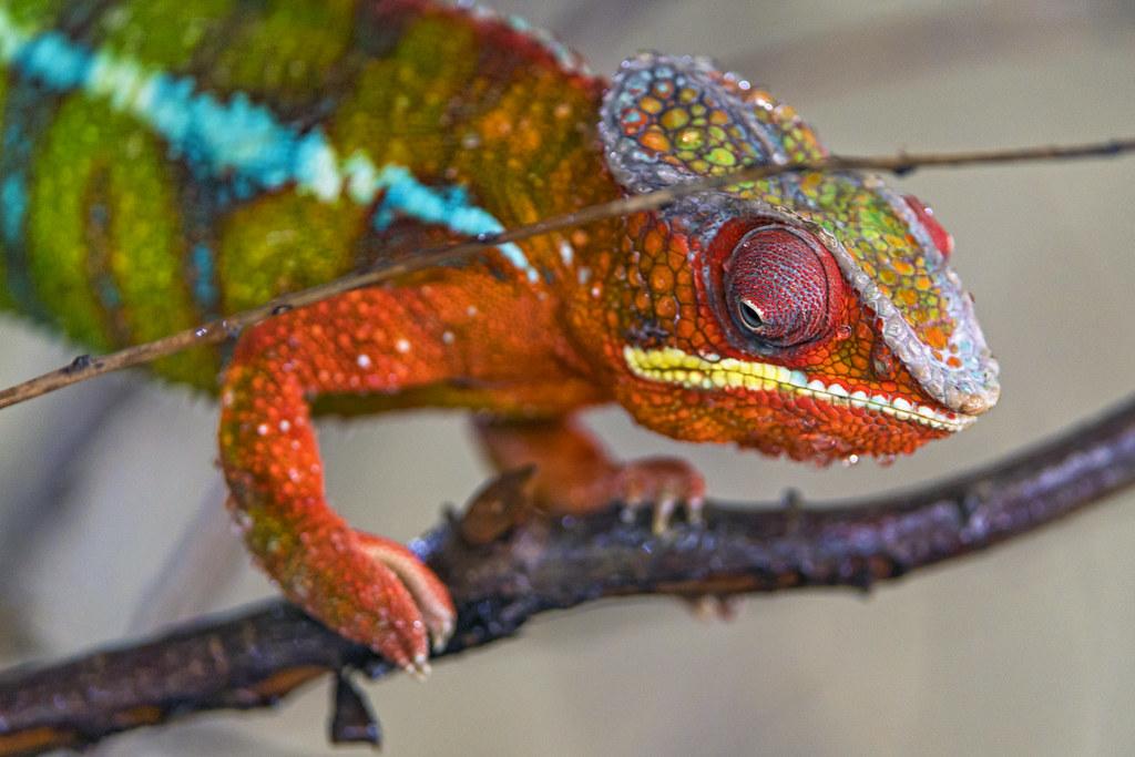 Chameleon on the branch by Tambako the Jaguar, on Flickr