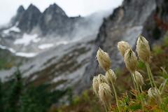 Clark Mountain and pasqueflower