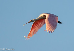 Sony ILCE-A9, Spoonbill , 6108, 1-2500, f-7.1, ISO 1250, 400mm_