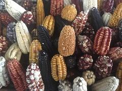 Maissorten