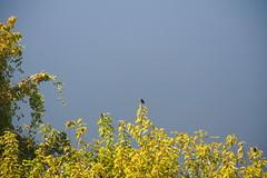 Mockingbird by the Cumberland