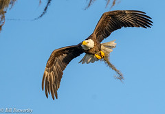 Sony ILCE-A7M3, Bald Eagle Gathering Moss, 812, 1-1600, f-7.1, ISO 640, 400mm _