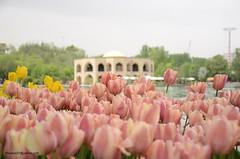 Tulip flowers in Tabriz's El Goli Park