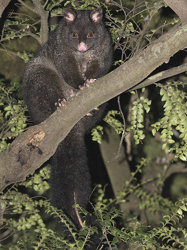 "Bobuck - Mountain Brush-tailed Possum - Powelltown, Vic • <a style=""font-size:0.8em;"" href=""http://www.flickr.com/photos/95790921@N07/45542478831/"" target=""_blank"">View on Flickr</a>"