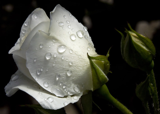 White Rose And Raindrops Flickr Photo Sharing