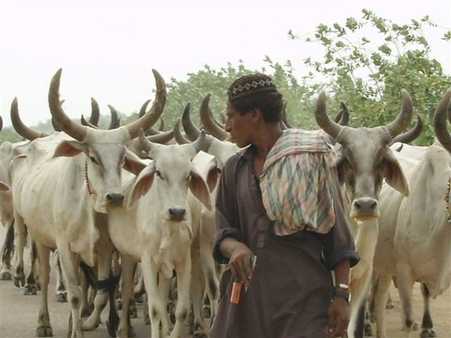 Tharparkar breed of cow that is heat and drought resistant and provides 10kgs of milk daily,""