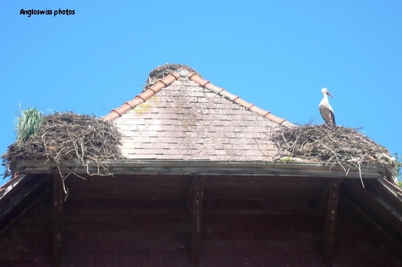 Stork at Altreu