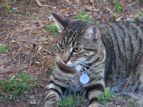 Moey, wild tiger cat.
