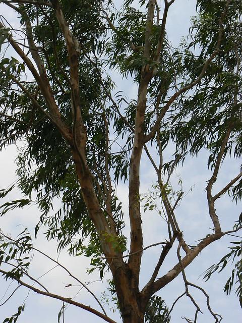 Eucalyptus tree  Flickr  Photo Sharing