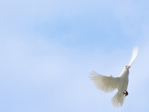 White Dove Against Blue Sky