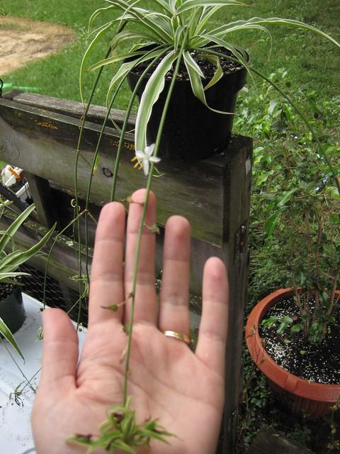 Spider Plant Stolon Flickr Photo Sharing
