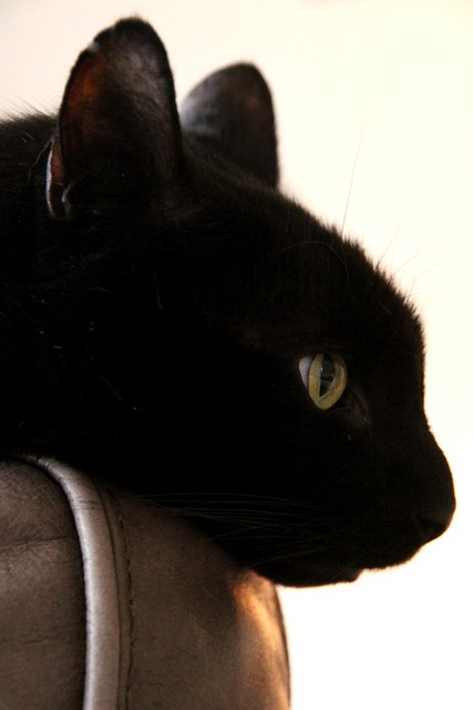 Charlie a three legged black cat in profile  Flickr