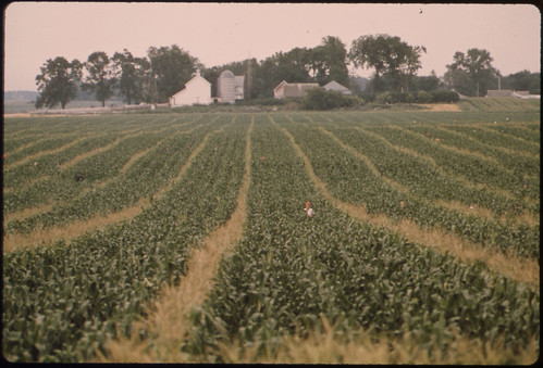 Teenage Workers Are Barely Visible as They Detassel Corn During the Summer in Fields near New Ulm, Minnesota...