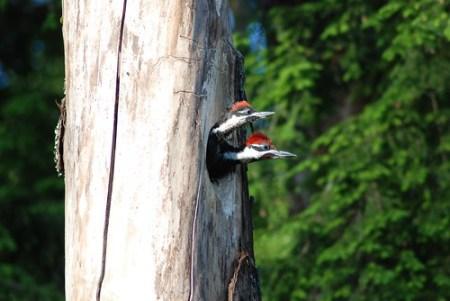 Woodpecker Babies