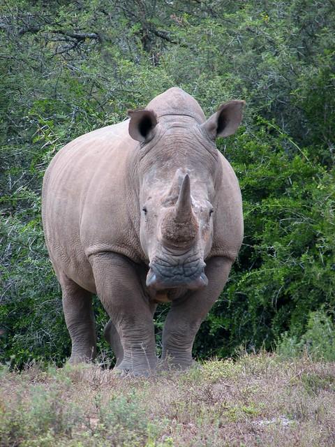 Amakhala  White Rhino face  Flickr  Photo Sharing