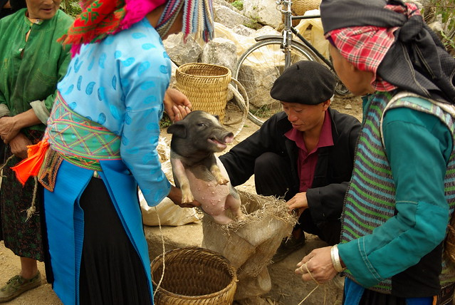 Pigs for sale at a market in Viet Nam