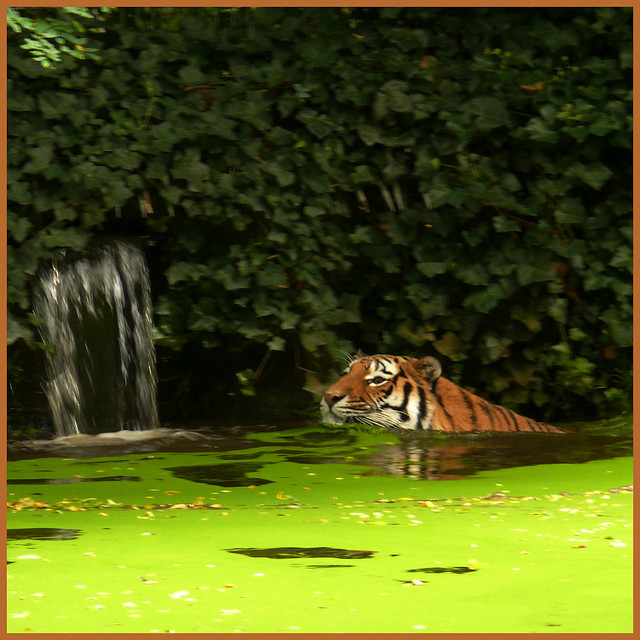Z = ZOO (Tiger's pool is like green soup)