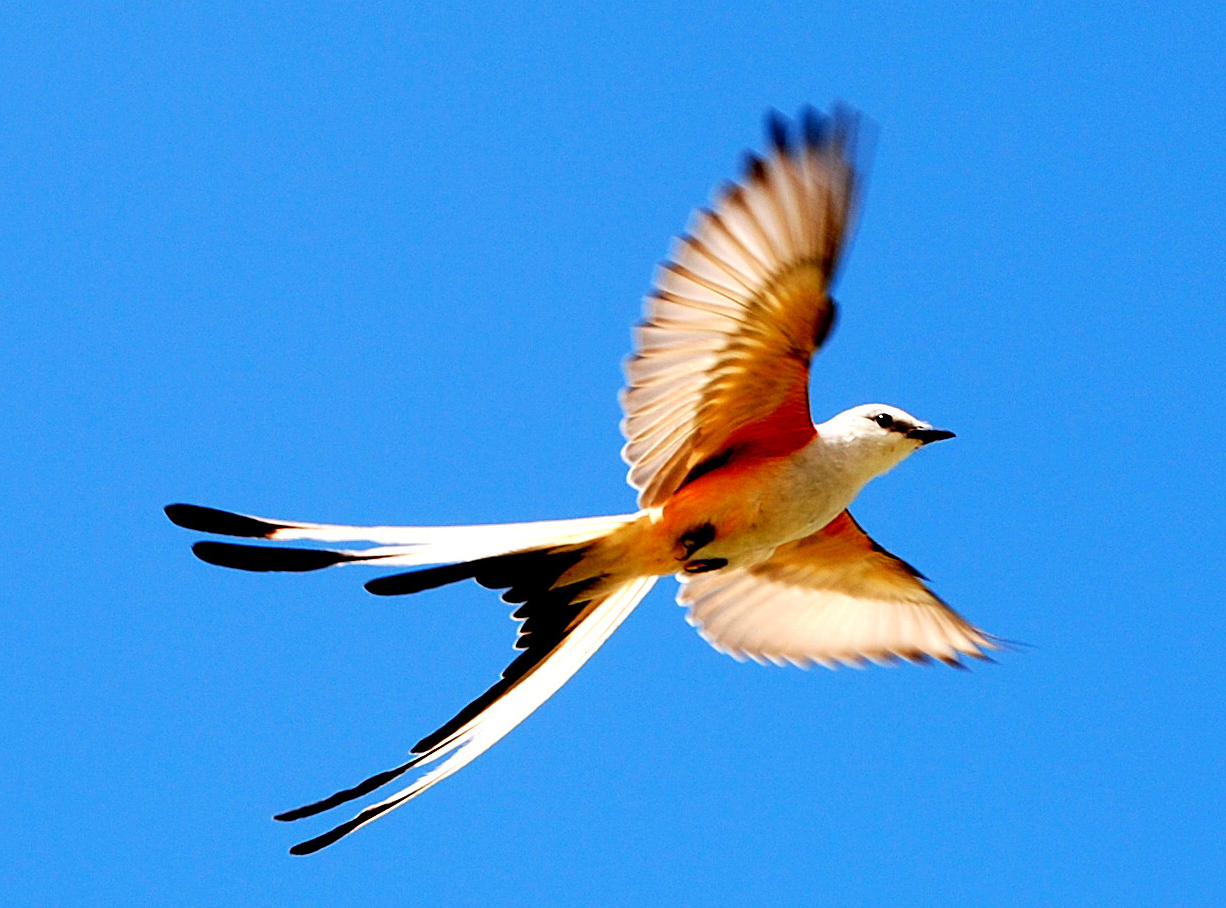 Scissor Tailed Flycatcher In Flight 5 Of 5