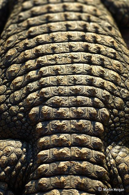 Nile Crocodile skin macro  The skin texture of a Nile
