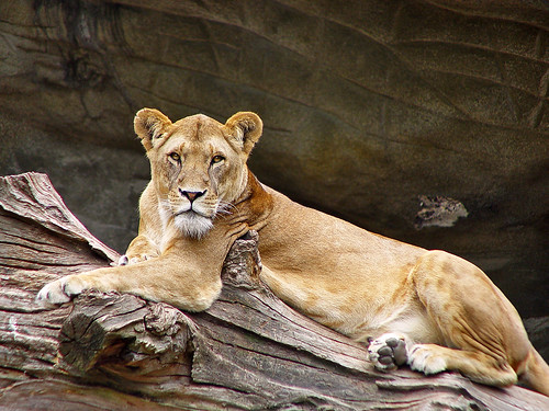 Lioness lying on a dead tree by Tambako the Jaguar
